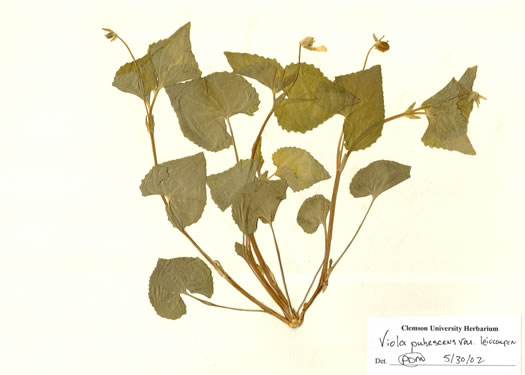 image of Viola eriocarpa, Smooth Yellow Forest Violet