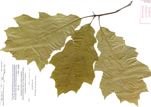 image of Quercus rubra +, Northern Red Oak, Red Oak