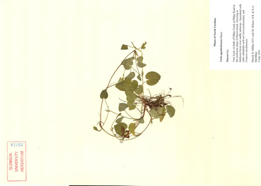 image of Viola appalachiensis, Appalachian Violet, Henry's Violet