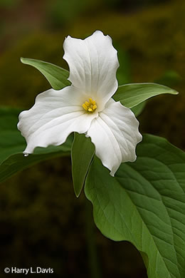 image of Trillium grandiflorum, Large-flowered Trillium, White Wake-robin, Great White Trillium, Showy Wake-robin