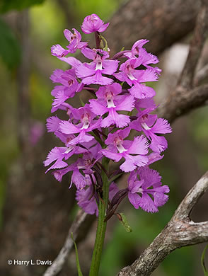 image of Platanthera grandiflora, Large Purple Fringed Orchid, Plume-royal, Greater Purple Fringed Orchid