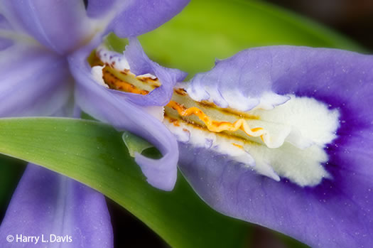 sepals or bracts of Iris cristata, Dwarf Crested Iris