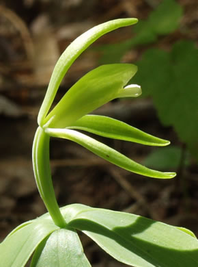 flower of Isotria medeoloides, Small Whorled Pogonia, Little Five-leaves