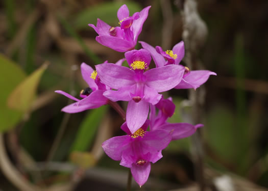 flower of Calopogon barbatus, Bearded Grass-pink