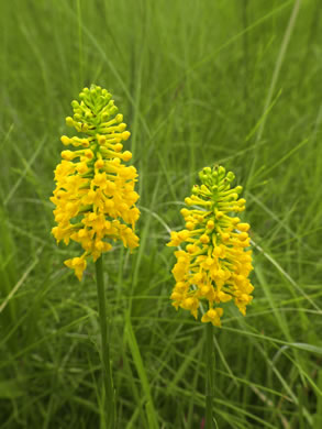 raceme: Platanthera integra, Yellow Fringeless Orchid, Golden Frog Orchid, Golden Fringeless Orchid