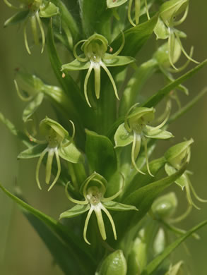 flower of Habenaria repens, Water-spider Orchid, Floating Orchid