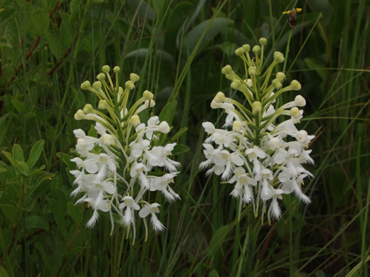 flower of Platanthera conspicua, Large White Fringed Orchid, Southern White Fringed Orchid
