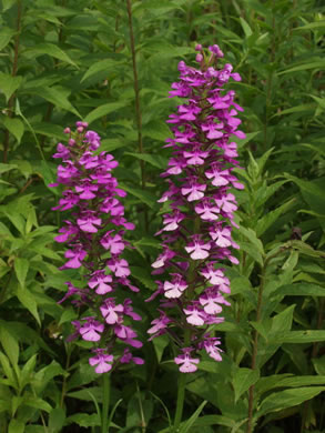 raceme: Platanthera peramoena, Purple Fringeless Orchid, Purple Spire Orchid, Pride-of-the-peak