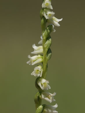 image of Spiranthes floridana, Florida Ladies'-tresses