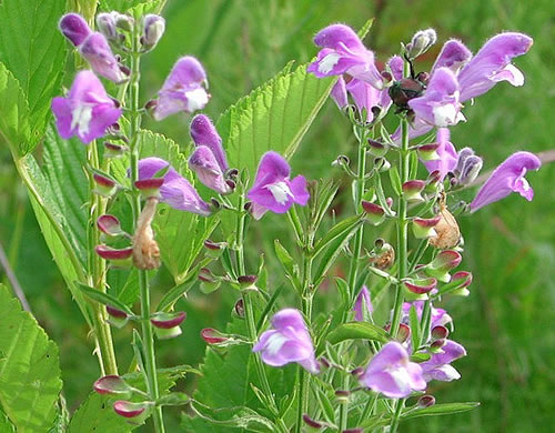 image of Scutellaria integrifolia, Hyssop Skullcap, Narrow-leaved Skullcap