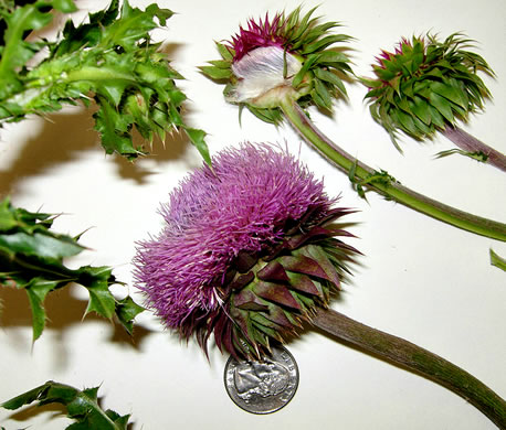 image of Carduus nutans, Nodding Thistle, Musk Thistle