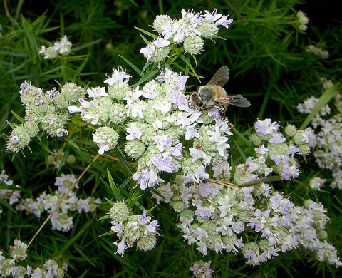 image of Pycnanthemum tenuifolium, Narrowleaf Mountain-mint, Slender Mountain-mint, Savanna Mountain-mint