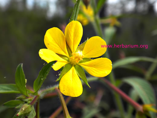 sepals or bracts of Ludwigia leptocarpa, Water-willow, Primrose Willow, Anglestem Primrose-willow