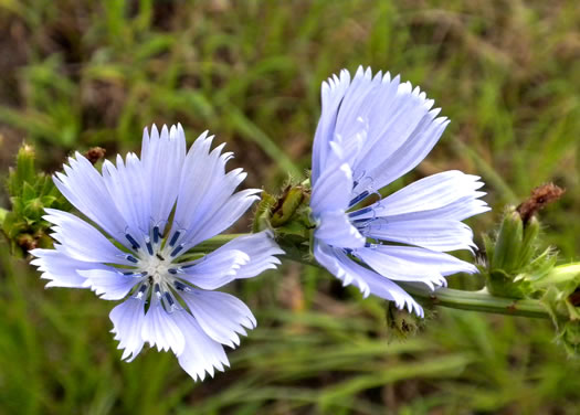 flower of Cichorium intybus, Chicory, Blue Sailors, Succory