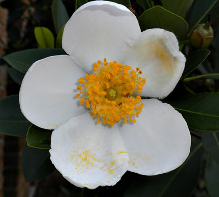 flower of Gordonia lasianthus, Loblolly Bay, Gordonia