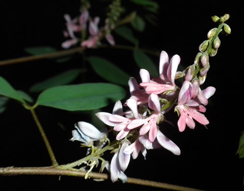 image of Indigofera suffruticosa