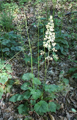 flower of Heuchera americana, American Alumroot