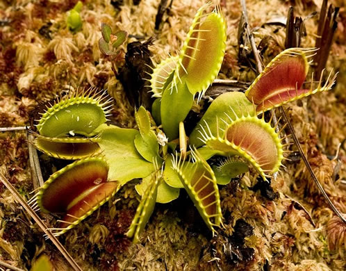 winged: Dionaea muscipula, Venus Flytrap, Meadow Clam