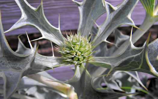coriaceous: Eryngium maritimum, Sea Holly, Seaside Eryngo