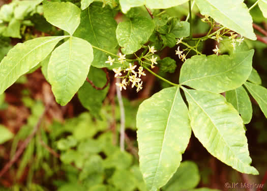image of Ptelea trifoliata, Wafer-ash, Hoptree