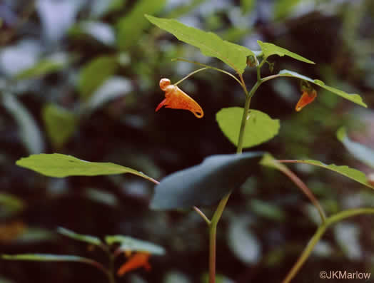 image of Impatiens capensis, Spotted Jewelweed, Spotted Touch-me-not, Orange Jewelweed, Orange Touch-me-not