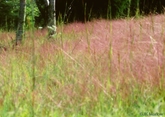 image of Eragrostis spectabilis, Purple Lovegrass, Tumblegrass