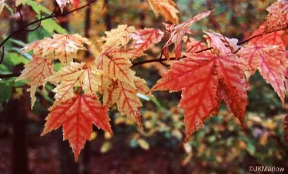 image of Acer rubrum var. rubrum, Eastern Red Maple