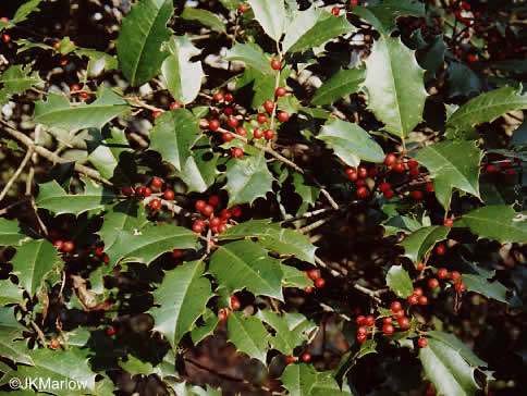 image of Ilex opaca var. opaca, American Holly, Christmas Holly