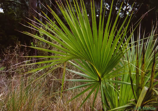 Sabal palmetto, Cabbage Palmetto