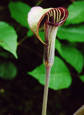 image of Arisaema triphyllum