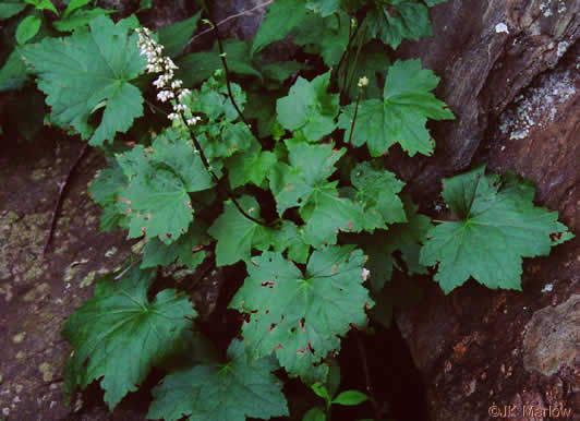 image of Heuchera villosa, Mapleleaf Alumroot, Hairy Alumroot, Rock Alumroot, Crag-jangle