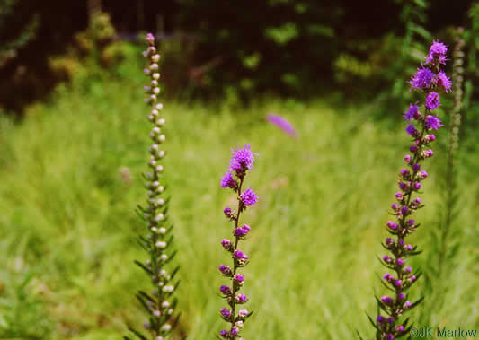 image of Liatris aspera, Rough Blazing-star