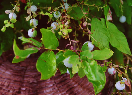 berry: Vaccinium pallidum, Dryland Blueberry, Lowbush Blueberry, Upland Low Blueberry, Hillside Blueberry
