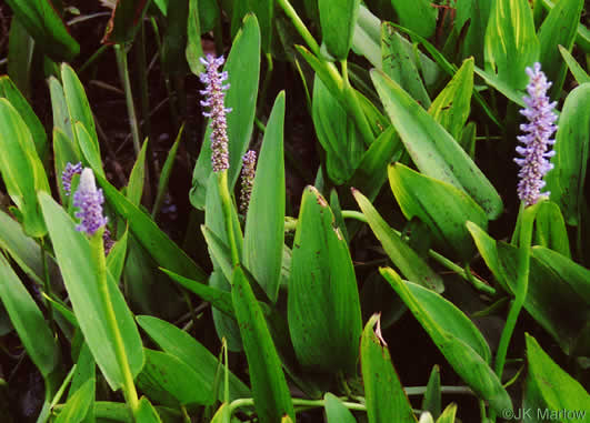 leaves of Arrowhead, Arum, Elephant's Ear and Pickerelweed: Pontederia cordata var. lancifolia, Pontederia cordata, Pontederia cordata