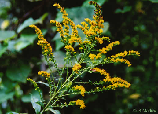image of Solidago rugosa var. rugosa, Wrinkle-leaf goldenrod, Rough-stemmed Goldenrod