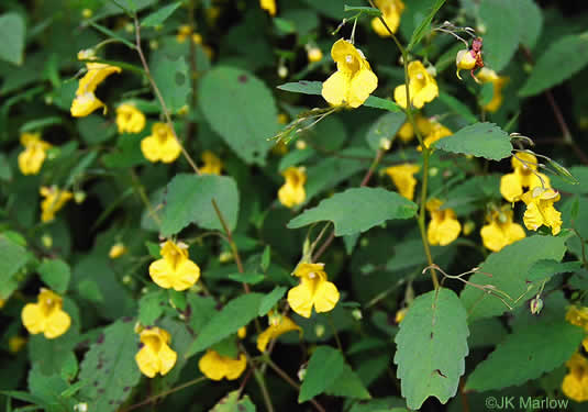 image of Impatiens pallida, Pale Jewelweed, Pale Touch-me-not, Yellow Jewelweed, Yellow Touch-me-not