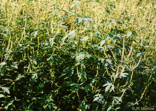 image of Ambrosia trifida var. trifida, Giant Ragweed, Great Ragweed