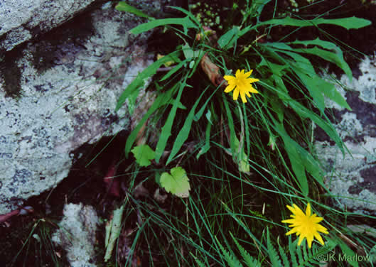 image of Krigia montana, Mountain Dwarf-dandelion, Mountain Cynthia