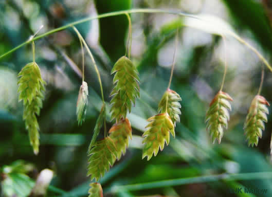 image of Chasmanthium latifolium, River Oats, Northern Sea Oats, Fish-on-a-Pole, Indian Woodoats