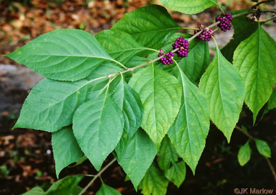 scurfy: Callicarpa americana, American Beautyberry, French Mulberry, Beautybush