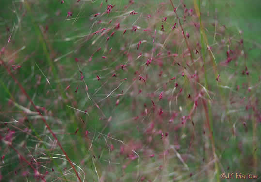 image of Muhlenbergia capillaris, Pink Muhlygrass, Upland Muhly, Hair-awn Muhly, Hairgrass