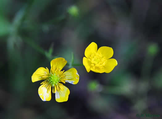 image of Ranunculus/ Ficaria spp., Buttercup, Crowfoot, Spearwort