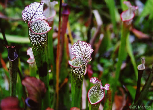 Sarracenia leucophylla, Whitetop Pitcherplant, Crimson Pitcherplant