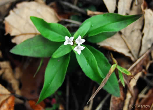 image of Houstonia purpurea var. purpurea, Summer Bluet, Purple Bluet, Woodland Bluet