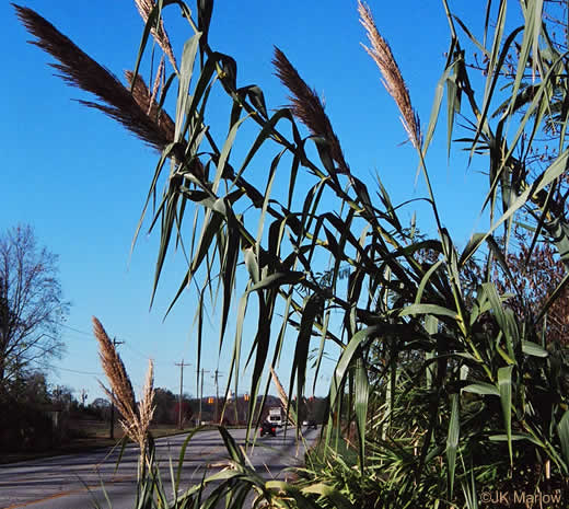 image of Arundo donax, Giant Reed