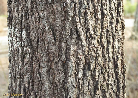 image of Quercus falcata, Southern Red Oak, Spanish Oak