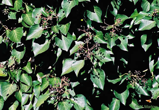 image of Hedera helix var. helix, English Ivy, Common Ivy