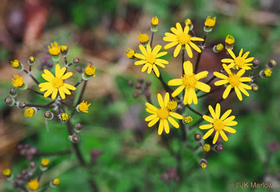 image of Packera/ Rugelia/ Senecio/ Ligularia spp., Ragwort, Squaw-weed, Groundsel