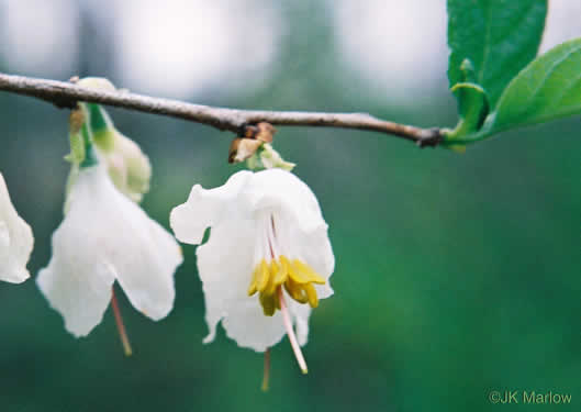 image of Halesia carolina, Little Silverbell