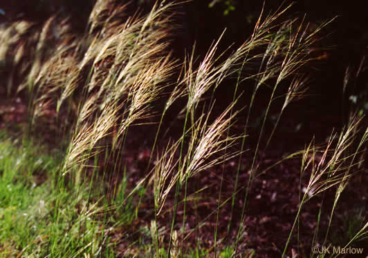 panicle: Piptochaetium avenaceum, Green Needlegrass, Blackseed Needlegrass, Eastern Needlegrass, Black Oatgrass